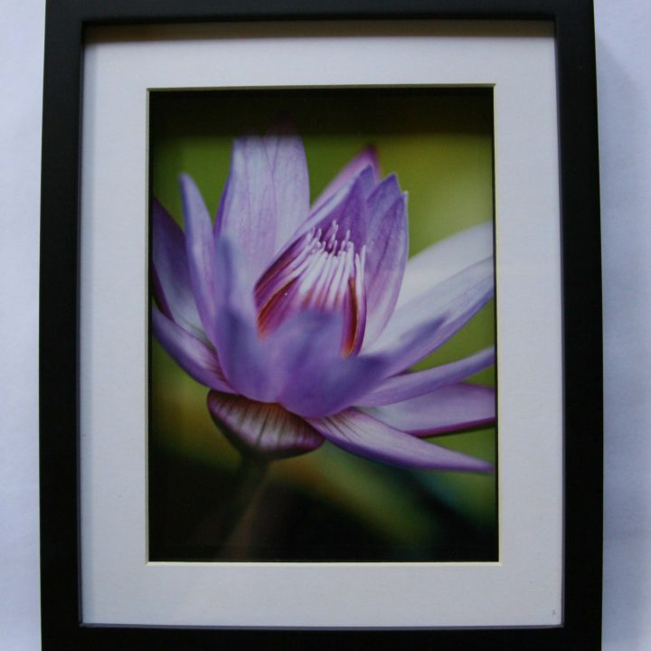 Art - Lily - Framed Print - (Lily 1)